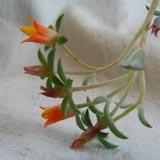 цветёт эчеверия 6кб