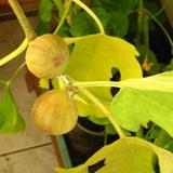 плодоношение инжира 10кб