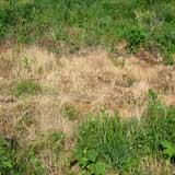 сорняки, погибшие от раундапа.6кб